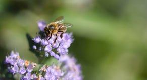 Fonctionnement d'abeille dur dans le jardin images libres de droits