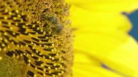 Fonctionnement d'abeille sur le tournesol dans le mouvement lent clips vidéos