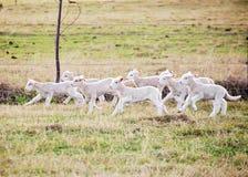 Fonctionnement d'agneaux Photos stock