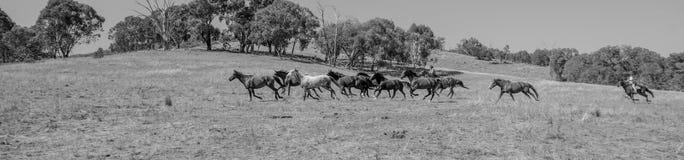 Fonctionnement de Brumbies gratuit sur un flanc de montagne - noir et blanc photo libre de droits