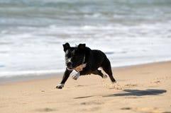 Fonctionnement de bull-terrier du Staffordshire Photos libres de droits