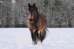 Fonctionnement de cheval dans le pré couvert par neige images libres de droits