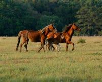 Fonctionnement de chevaux Photo libre de droits