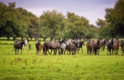 Fonctionnement de chevaux Photo stock