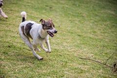 Fonctionnement de chien égaré Photographie stock