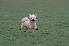 Fonctionnement de chien de Cavapoo photographie stock libre de droits