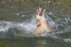 Fonctionnement de chien d'arrêt d'or Photos stock