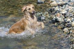 Fonctionnement de chien d'arrêt d'or Photos libres de droits