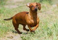 Fonctionnement de chien de teckel Images stock