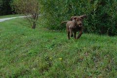 Fonctionnement de chiot de chien Photographie stock libre de droits