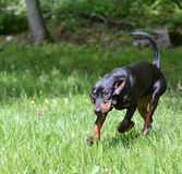 Fonctionnement de Coonhound Photographie stock