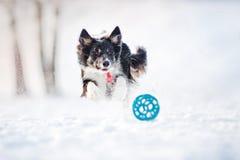 Fonctionnement de crabot de border collie pour attraper un jouet en hiver photos libres de droits