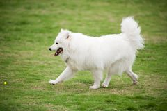 Fonctionnement de crabot de Samoyed Images stock