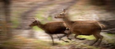 Fonctionnement de deux cerfs communs Photographie stock