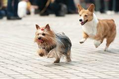 fonctionnement de deux chiens Photographie stock