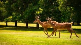 Fonctionnement de deux jeune mâles de cerfs communs rouges Images stock