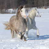 Fonctionnement de deux ponnies de gallois Photos stock