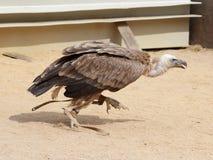 Fonctionnement de Griffon Vulture (fulvus de Gyps) Photographie stock