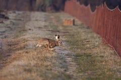 Fonctionnement de lièvres européens (europaeus de Lepus) pour attraper le filet. Images libres de droits