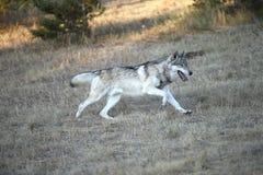 Fonctionnement de loup gris Image stock