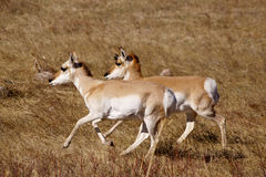 Fonctionnement de paires de Pronghorn Photo stock
