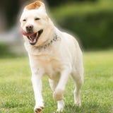Fonctionnement de pure race de chien de Labrador Photos stock