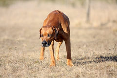 Fonctionnement de Rhodesian Ridgeback Photographie stock