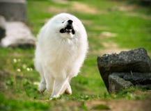 Fonctionnement de Samoyed Images stock