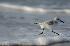 Fonctionnement de Sanderling Image stock