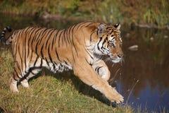 Fonctionnement de tigre Photographie stock libre de droits