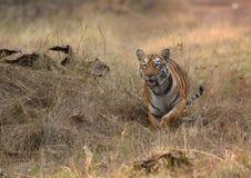 Fonctionnement de tigre Photos libres de droits