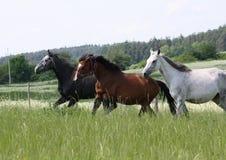 Fonctionnement de trois chevaux Photographie stock