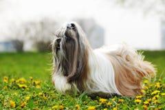 Fonctionnement de tzu de Shi de race de chien Images libres de droits