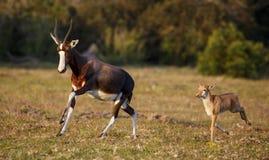 Fonctionnement de veau de mère et de bébé de Bontebok Images stock