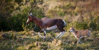 Fonctionnement de veau de mère et de bébé de Bontebok Image stock