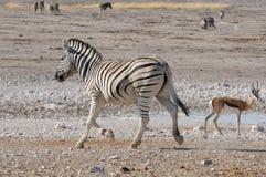Fonctionnement de zèbre, Etosha, Namibie Photo libre de droits
