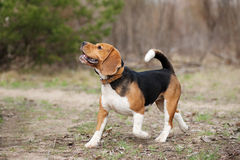Fonctionnement drôle de chien de briquet Photographie stock libre de droits