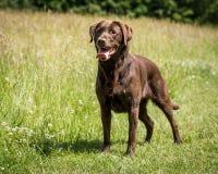Fonctionnement et jouer de chien Image libre de droits