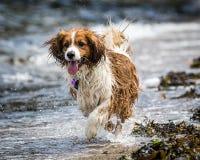 Fonctionnement et jouer de chien Photos stock