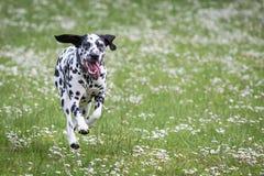 Fonctionnement et jouer de chien Photographie stock