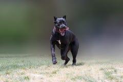 Fonctionnement et sauter de chien de corso de canne Image libre de droits
