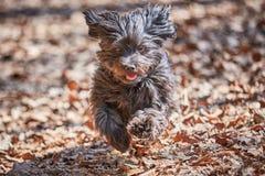 Fonctionnement et sauter de chien de Havanese Image stock