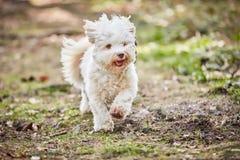 Fonctionnement et sauter de chien de Havanese Photographie stock libre de droits