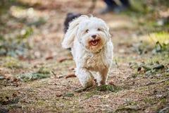 Fonctionnement et sauter de chien de Havanese Photo libre de droits