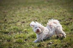 Fonctionnement et sauter de chien de Havanese Images stock