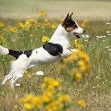 Fonctionnement et sauter stupéfiants de terrier de Jack Russell Image libre de droits