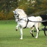 Fonctionnement gentil d'étalon de poney de montagne de gallois Image stock