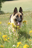 Fonctionnement gentil de chien de berger allemand Photo libre de droits