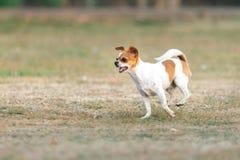 Fonctionnement heureux d'amusement de chiwawa dehors sur la pelouse Photo libre de droits