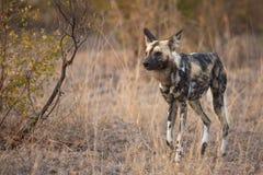Fonctionnement mûr de chien sauvage photographie stock